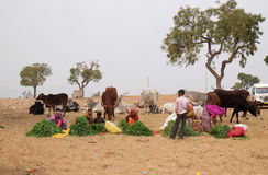 People selling grass stalks to Hindu passersby for them to feed to the cows, Pushkar, India. People selling grass stalks to Hindu passersby for them to feed to royalty free stock photos