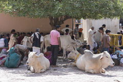 People sitting around holy cows. Mathura, India - October 13, 2016: People sitting around holy cows under shade and waiting outside Shri Krishna Janam Bhumi in Stock Photos