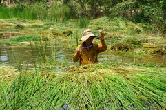 People soak in water, harvest sedge Stock Images