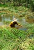 People soak in water, harvest sedge Stock Photo