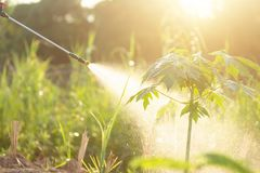 People spraying water or fertilizer to young papaya tree in garden. Shoot in morning time with sunlight effect royalty free stock image