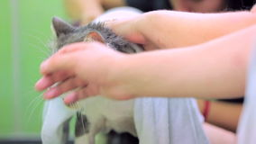 People Stroking Cat Suffering From Heat. Human hands stroking a cute fluffy cat covered with a towel suffering from heat stock footage