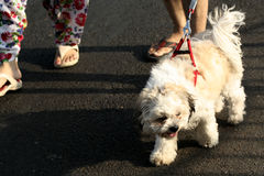 People take the pet dog for a walk Stock Image