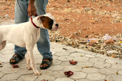 People take the pet dog for a walk Stock Photo