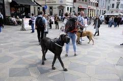 PEOPLE WITH THIER BIG PETS DOGS. Copenhagen /Denmark - 23 . May 2017. People walking with thier big pets dog animal      Photo.Francis Dean/Deanpictures Stock Images