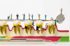 People to clean tooth model on white background Royalty Free Stock Photography
