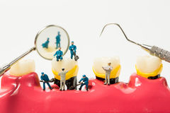 People to clean tooth model on white background Royalty Free Stock Photo