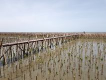 People or tourist taking photo and standing on wooden bridge stretching from the mangrove forest to bamboo dam and the sea with co. Py space at Samut Songkhram Royalty Free Stock Photo