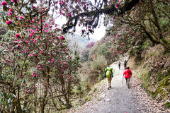 People trekking through a scenic trail with Rhododendron flower in Nepal Royalty Free Stock Photography
