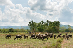 People Turn to Buffalo. Buffalo in the meadow and sky Royalty Free Stock Photography