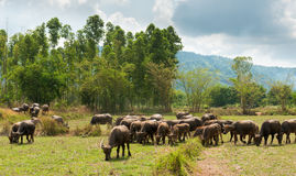 People Turn to Buffalo. Buffalo in the Meadow in Thailand Stock Photo