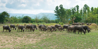 People Turn to Buffalo. Buffalo in the meadow in Thailand Stock Photos