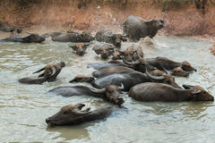 People Turn to Buffalo. Swamp Buffaloes on a water Stock Photos