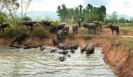 People Turn to Buffalo. Swamp Buffaloes on a water Royalty Free Stock Image