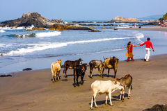 People walk along the beach with cows Stock Photography