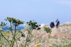 People walking on a coastal path. Blurred scene of people walking on a coastal path in Brittany, France. In the foreground are umbels from hogweed Royalty Free Stock Photography