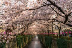 people walking and enjoy sakura cherry blossom at Nakameguro canal stock photos