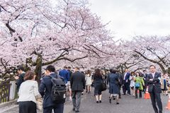 People walking and enjoying  Cherry Blossom and relaxing in Chid. Tokyo, Japan - April 07, 2017 : People walking and enjoying  Cherry Blossom and relaxing in Royalty Free Stock Photography
