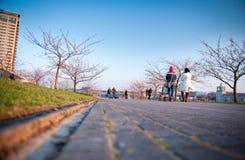 People walking by flourishing Sakura Stock Images