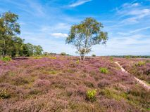 People walking on path and purple heather in bloom in nature res. People walking, birch tree, path and purple heather in bloom in nature reserve Zuiderheide in stock photo