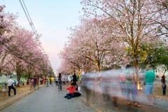 People walking under pink trumpet shrub tree,flower pink tree Stock Photos
