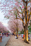 People walking under pink trumpet shrub tree,flower pink tree Royalty Free Stock Photography