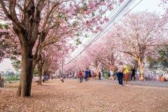 People walking under pink trumpet shrub tree,flower pink tree Royalty Free Stock Images