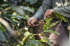 Harvesting coffee. People was harvesting a red bean of coffee Stock Photo