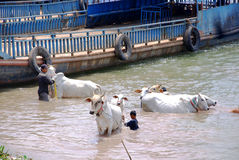 People wash their cows Stock Images