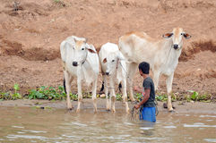 People wash their cows Stock Photography