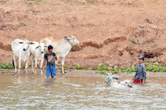 People wash their cows Royalty Free Stock Images