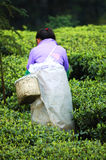 People who collect tea Stock Images