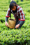 People who collect tea. Guizhou mountain villages there are a lot of poverty, they are a living by collecting tea,Children after school to pick tea garden to royalty free stock image