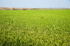 Fram rice of Thai Royalty Free Stock Photo