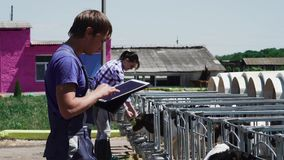 People work at the cow farm. Young worker in blue uniform is checking information in the tablet. Two girls are feeding animals stock footage