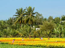 People work on flower fields in Mekong Delta, southern Vietnam Stock Image