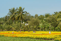 People work on flower fields in Mekong Delta, southern Vietnam Royalty Free Stock Photography