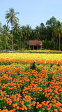People work on the flower fields in Mekong Delta, southern Vietnam Royalty Free Stock Image