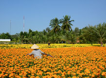 People work on flower fields in Mekong Delta, southern Vietnam Stock Images