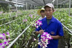 People work at the orchid farm in Samut Songkram, Thailand. Stock Images