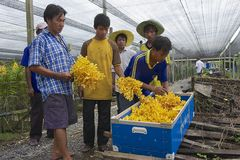 People work at the orchid farm in Samut Songkram, Thailand. Royalty Free Stock Photos