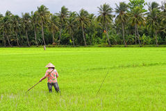 People work on rice field at Hong Ngu town in Dongthap, Vietnam Stock Photography