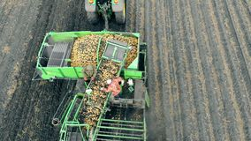 Workers sorting potato on a conveyor. Crop, farming, agriculture concept. stock video