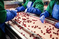 People at work.Unrecognizable workers hands in protective blue g. Loves make selection of frozen berries.Factory for freezing and packing of fruits and Stock Photo