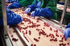 People at work.Unrecognizable workers hands in protective blue g. Loves make selection of frozen berries.Factory for freezing and packing of fruits and stock image
