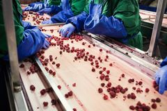 People at work.Unrecognizable workers hands in protective blue g. Loves make selection of frozen berries.Factory for freezing and packing of fruits and Royalty Free Stock Image