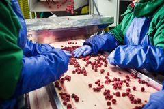 People at work.Unrecognizable workers hands in protective blue g. Loves make selection of frozen berries.Factory for freezing and packing of fruits and Royalty Free Stock Photo