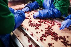 People at work.Unrecognizable workers hands in protective blue g. Loves make selection of frozen berries.Factory for freezing and packing of fruits and Royalty Free Stock Photos
