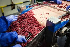 People at work.Unrecognizable workers hands in protective blue g. Loves make selection of frozen berries.Factory for freezing and packing of fruits and Stock Photography