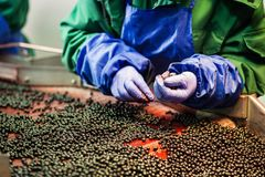 People at work.Unrecognizable workers hands in protective blue g. Loves make selection of frozen berries.Factory for freezing and packing of fruits and stock photos